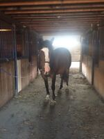 Horse for lease/part board