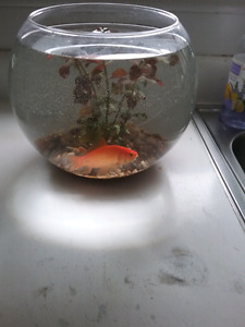 """Looking for a good home for my 4"""" goldfish moby"""