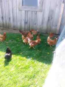 Laying hens!