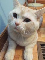 British short hair cat. 1 year old