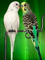 Actual picture of two budgies for sale