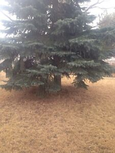 Anytime Tree Removal Moose Jaw Regina Area image 2