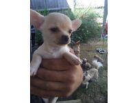 Gorgeous little white boy chihuahua