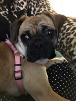 Female 7 month old Pug/Boston Terrier Mix