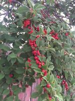 Nanking Cherries are Ready!!