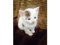 tiny white kitten with tabby patches