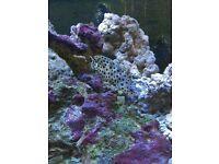 Grouper marine fish
