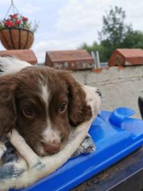 Sprocker Puppies Ready To Go
