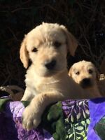 Labradoodle Puppies!!! Ready Now!!!