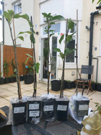 £15 each 5 DWARF Fruit Tree Plants Cherry 'Sylvia', Apple 'Golden Deli