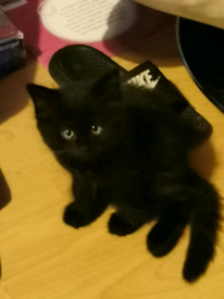 Black long hair fluufy kitten ready now