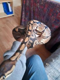 Royal python with vivarium and accessories