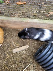Guinea pigs females