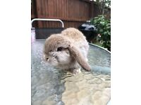 Pure bred mini lop Buck