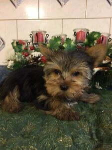 CKC REGISTERED SMALL YORKSHIRE TERRIER PUPPIES