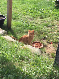 FOUND male orange tabby cat