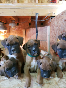Boxer Boxers pup pups puppies