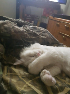 Looking for Himalayan kitten female