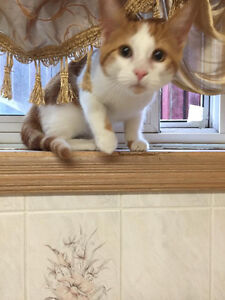 LOST Ginger and white Female Kitten 8 months old .