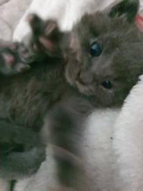 Ragdoll/blue kittens