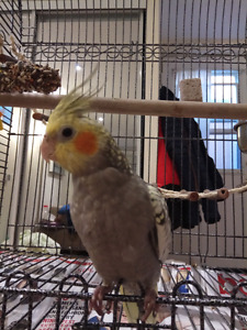 Hand raised baby cockatiel with massive cage for sale