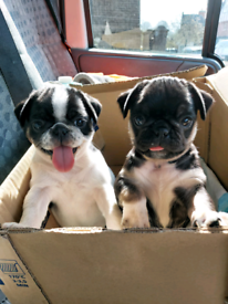 Beautiful pugs