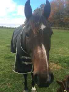 Pleasure Horse for Sale, Lease or Part-Board