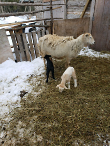 Goat and sheep herd for sale