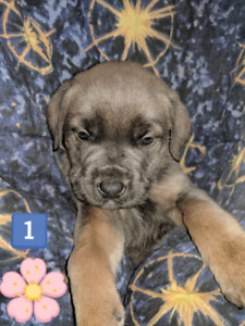 *6*Beautiful Cane Corso puppys avalible from litter of 10!