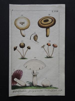 Orig. color. Kupferstich Botanik - PILZE  16,5x10cm - um 1820  (#W1#)