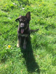Quality German Shepherd Puppies - Lifetime Guartantee/Support