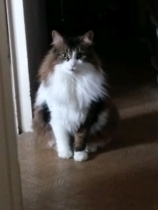 Fluffy, Spayed, Microchipped, Shots, 3 yr old.