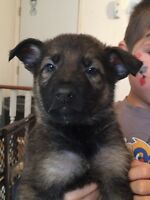 German Shepherd puppies now available!!!