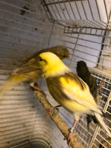 Variegated Canary's