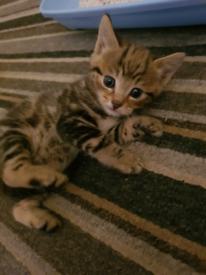 Male tabby kittens! ***SOLD***