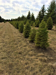 white spruce trees