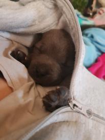 Blue staff pup
