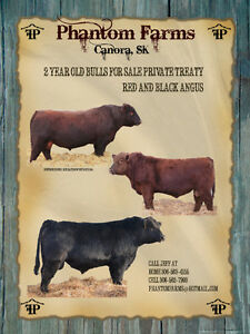 Red and Black Angus Bulls for Sale
