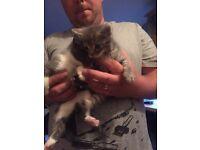 Grey kittens