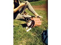 Chihuahua female, 4 years old black white and tan