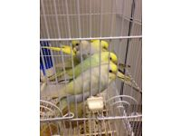 Beautiful Baby budgies for sell