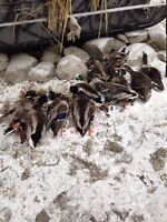Looking for AG feilds to duck/goose hunt