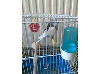 Grey baby bird for sale