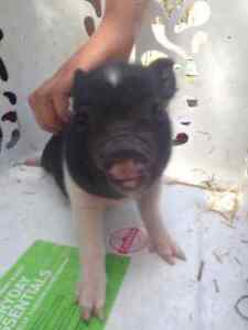 Cute, little pot belly piglets for sale!