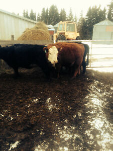 Lowline bred cows