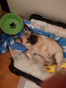 Cute Fawn Pug Puppy For Sale