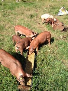 5 pigs for sale