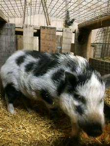 Intact pot belly pig