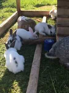 Baby Pet Rabbits / Bunnies For Sale