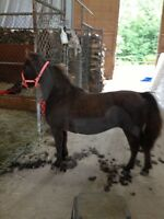 Miniature horse, mare for sale